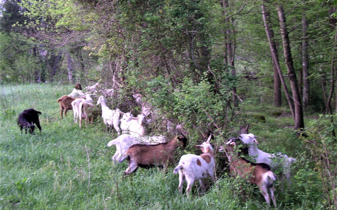 Monthly Browse Management For Goats