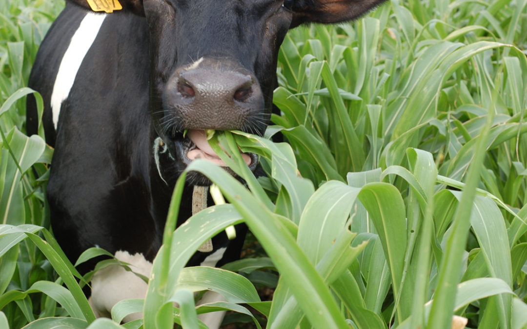 Grazing Annual Cover Crops